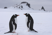 Antarctica, South Shetland Islands, Two Gentoo Penguins (Pygoscelis papua)