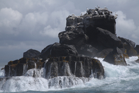 Galapagos Islands, Gannets on rock