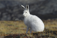Greenland, Arctic hare, close up