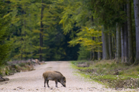 Wild hog on track in forest