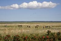 Germany, Mecklenburg-Vorpommern, Hiddensee Island, Vitte, Horses on pasture