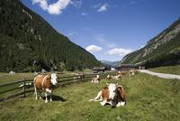 Austria, Krimmler Achental, Cattle herd on mountain pasture