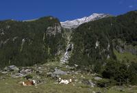 Austria, Krimmler Achental, Hohe Tauern Mountain range, cattle herd