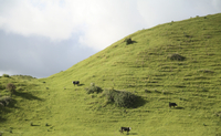 New Zealand, Cattle on pasture land