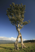 New Zealand, Single Baobab tree