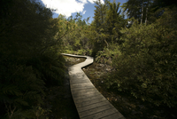 New Zealand, Log paved path between trees