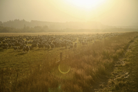 New Zealand, Flock of sheep at sunset light