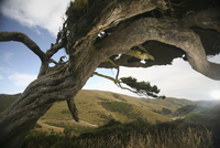 New Zealand, Hilly landscape, Knobby tree in foreground