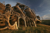New Zealand, Bizarre trees at twilight