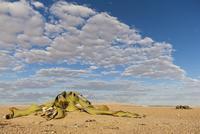 Africa, Namibia, Swakopmund, View of welwitschia plant in namib desert
