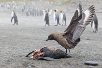 South Atlantic Ocean, United Kingdom, British Overseas Territories, South Georgia, St. Andrews Bay, South polar skua is eating a