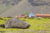 South Atlantic Ocean, United Kingdom, British Overseas Territories, South Georgia, Stromness, Southern elephant seal lying near