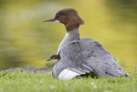 Germany, Munich, Close up of goosander with chicks