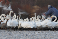 Germany, Munich, View of person feeding mute swans near water