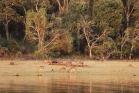 India, South India, Karnataka,Group of spotted deers in national park