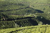 India, South India, Kerala, Munnar, View of tea plantations