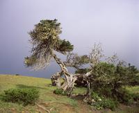 Spain, Canary Islands, El Hierro, El Sabinar, View of juniper