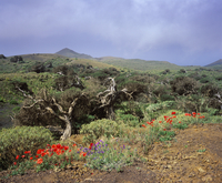 Spain, Canary Islands, El Hierro, View of juniper forest