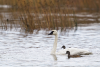 USA, Alaska, Trumpeter Swan and Stellers Eider in water