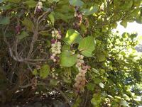 Spain, La Gomera, Coccoloba Uvifera tree