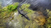 USA, Florida, American alligator at Everglades