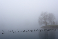 Austria, View of trees with eurasian coot in morning fog at Mondsee Lake