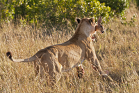 Kenya, Lion runs away with bushbuck in mouth