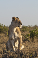 Kenya, Lion at Maasai Mara National Reserve