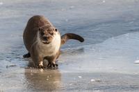 Germany, Brandenburg, European Otter at frozen lake