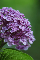 Germany, Baden Wuerttemberg, Hydrangea arborescens, close up