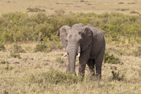 Africa, Kenya, Elephant in Maasai Mara National Park