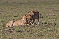 Africa, Kenya, Lions in Maasai Mara National Park