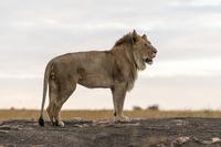 Africa, Kenya, Lion at Maasai Mara National Park