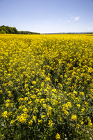 Germany, Saxony, View of oilseed rape
