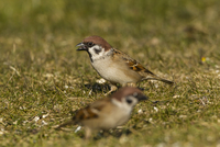 Germany, Hesse, Sparrows perching on grass