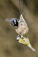 Germany, Hesse, Blue tit and coal tit on bird feeder