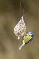 Germany, Hesse, Blue tit on bird feeder