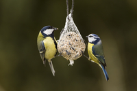 Germany, Hesse, Great tit and blue tit on bird feeder