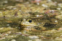 Germany, Hesse, Mannheim, Frog in pond