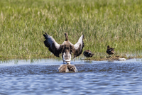 Germany, Schleswig Holstein, Greylag Goose birds perching in water