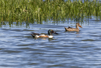 Germany, Schleswig Holstein, Shoveler birds swimming in water