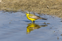 Germany, Schleswig Holstein, Yellow Wagtail bird perching in water