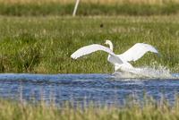Germany, Schleswig Holstein, Mute Swan bird spreading wings