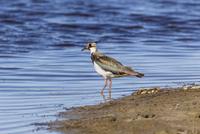 Germany, Schleswig Holstein, Lapwing bird perching in water