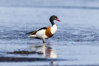 Germany, Schleswig Holstein, Shelduck bird perching in water