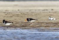 Germany, Schleswig Holstein, Oystercatcher birds perching on sand
