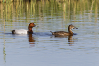 Germany, Schleswig Holstein, Pochard birds swimming in water
