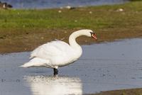 Gremany, Schleswig Holstein, Mute swan bird  perching on water