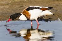 Germany, Schleswig Holstein, Shelduck bird perching on water , close up