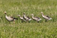 Germany, Schleswig Holstein, Greylag Goose birds perching on grass